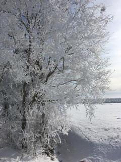 雪の木の写真・画像素材[947983]