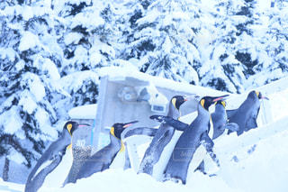 雪の中のペンギンの写真・画像素材[980141]