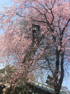 桜 - No.478334