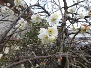 梅の写真・画像素材[486130]