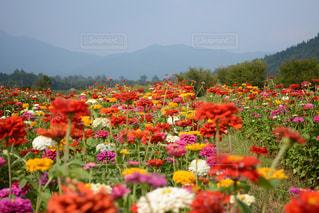 花畑の写真・画像素材[537752]