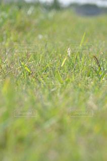 芝生の写真・画像素材[485601]