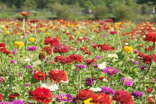 お花畑の写真・画像素材[495514]