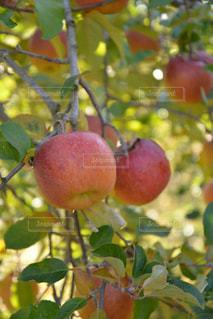 フルーツの写真・画像素材[577520]