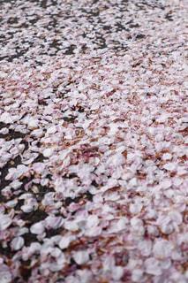 桜の花びらの写真・画像素材[1102101]