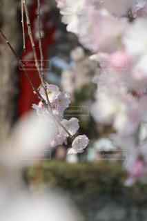 今年、最後の桜の写真・画像素材[1103287]