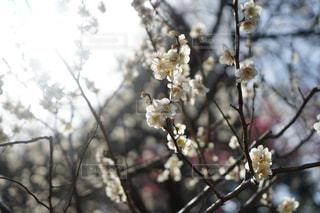 梅の花の写真・画像素材[1157692]