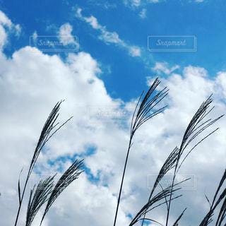 青空とすすきの写真・画像素材[1381675]