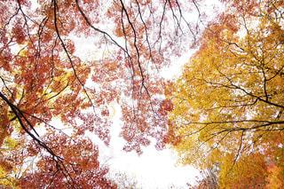 紅葉を見上げるの写真・画像素材[1645568]