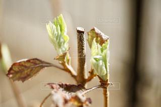 紫陽花の新芽の写真・画像素材[1871213]