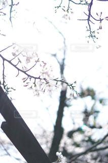 はかない桜の写真・画像素材[1873895]