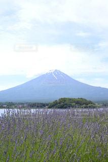 富士山の前に広がるラベンダー畑の写真・画像素材[2166004]