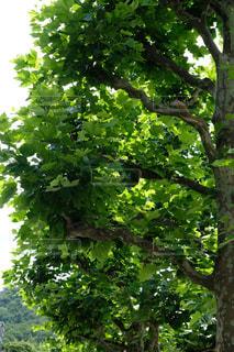 ポプラの木の写真・画像素材[2327972]