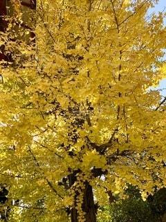 イチョウの木の写真・画像素材[2745873]