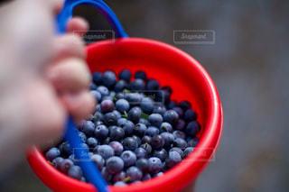 収穫したブルーベリーの写真・画像素材[3565228]