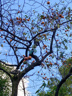 柿の木を見上げるの写真・画像素材[3813475]