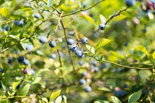 枝になっているブルーベリーの写真・画像素材[4679710]