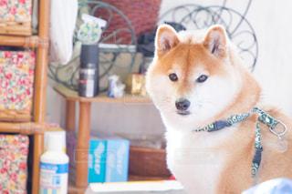 犬の写真・画像素材[479412]