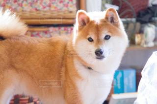犬の写真・画像素材[479441]