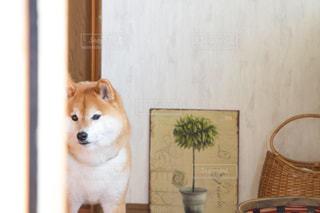 犬の写真・画像素材[479465]