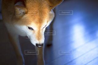 犬の写真・画像素材[479497]