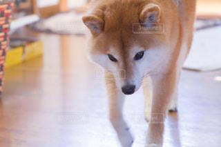 犬の写真・画像素材[479513]