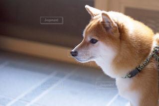 犬の写真・画像素材[479523]