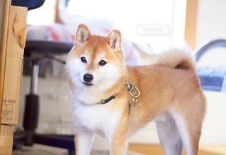 犬の写真・画像素材[480188]