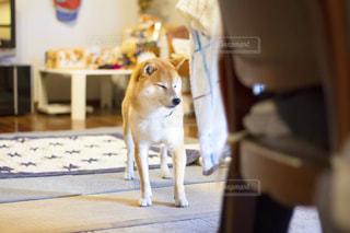 犬の写真・画像素材[486172]