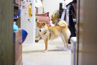 犬の写真・画像素材[486176]