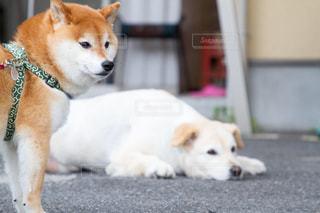 犬の写真・画像素材[493076]