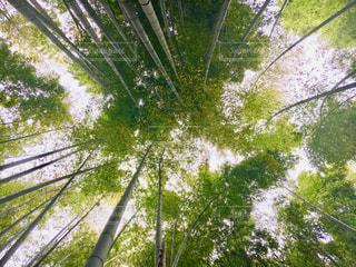 見上げても竹林の写真・画像素材[1157529]