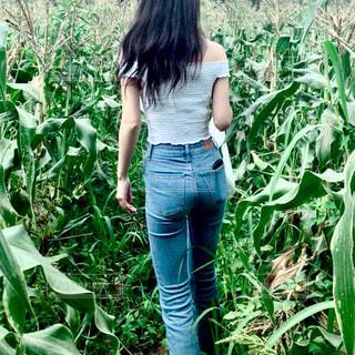 とうもろこし畑の写真・画像素材[1384352]