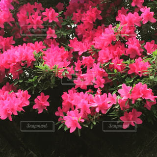 ピンクの写真・画像素材[479698]