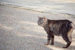 見つめる猫の写真・画像素材[675536]
