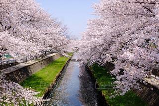 桜の写真・画像素材[1093943]