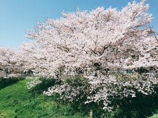 桜満開の写真・画像素材[480551]