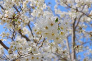桜の写真・画像素材[1084913]