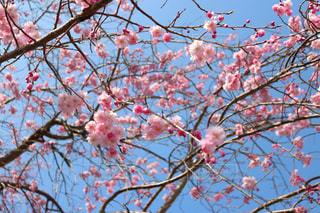木の枝にピンク色の花のグループの写真・画像素材[1084914]