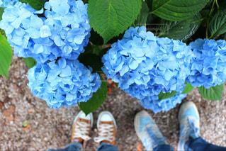 紫陽花の写真・画像素材[1284772]