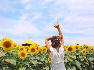 ひまわり畑の写真・画像素材[1314549]