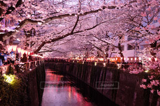 桜の写真・画像素材[481869]