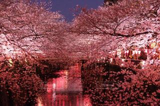 桜の写真・画像素材[481875]
