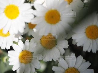 花の写真・画像素材[482891]
