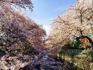 桜の写真・画像素材[10827]