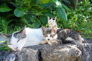 猫の写真・画像素材[240719]