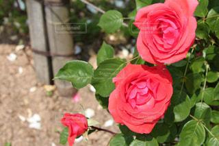 花の写真・画像素材[483520]