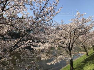 桜の写真・画像素材[483315]