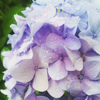 花の写真・画像素材[517469]