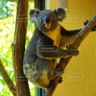 木のコアラ、珍しく正面ショットです!の写真・画像素材[1113244]